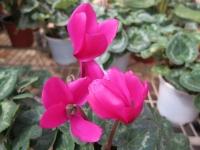 Hoa Dalat_07