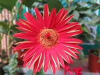 Hoa Dalat_09
