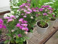Hoa Dalat_63