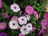 Hoa Dalat_64