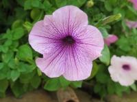 Hoa Dalat_65